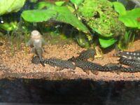 Tropical fish - Bristlenose pleco's (Ancistrus temminckii) for sale. Excellent algae eaters!