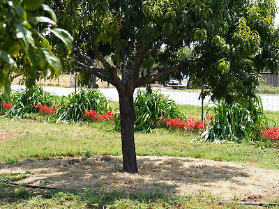 Heirloom Flower Bulbs - Oxblood lily heirloom bulbs - Red flowers -  10 Jumbo size