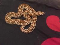 Gorgeous CB16 Male Hypo Burmese Python