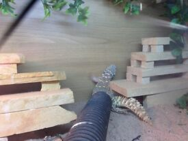 2x male uromastyx and vivs