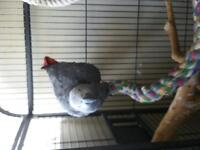 African grey Congo 1 years old male