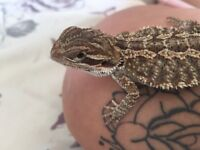 Male bearded dragon for sale