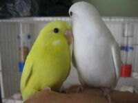 young budgies for sale hand tame last four.