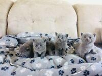 Gorgeous British shorthair kittens