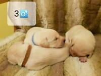 4 pedigree Labrador puppies left from litter of 7