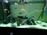 19 Cichlid male and female