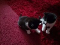 Black and white male kittens