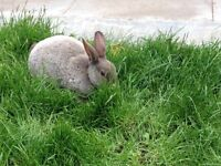 Stunning pure mini rex rabbit for sale (girl)