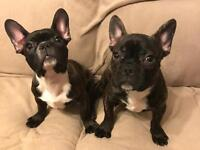 Two French Bulldog puppies for sale!!! (Females)