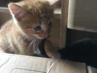 Cute ginger and ginger/black kittens