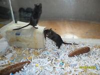 2 female gerbils