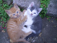 Two pretty 8 week old female kittens for sale part Birman one ginger other grey and whitee