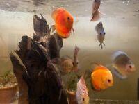 9 discus fish