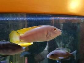 Malawi cichlids fish