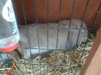 2 rabbits free to good home