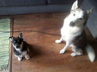 Last Siberian Husky puppy from a litter of 5