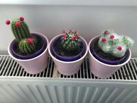 Selection of Cacti House Plants