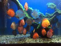 discus tropical aquarium fish