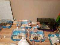 2 male Russian dwarf hamsters looking for new home