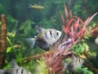 Black Widow Tetra Tropical Fish