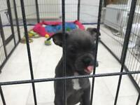 Blue French bulldog puppies for sale