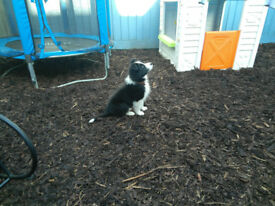 Fantastic Border Collie for sale.