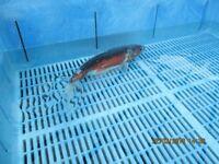 Japanese shusui fish