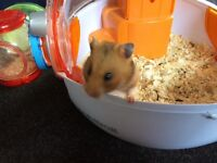 SYRIAN HAMSTER and cage