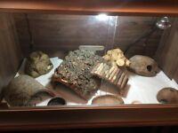 Leopard Gecko and Vivarium