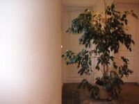Large Weeping Fig Tree
