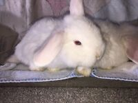 BEW - BLUE EYED WHITE - ADORABLE MINI LOP RABBITS - AVAILABLE NOW