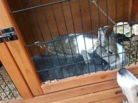 2 dewarf rabbits for sale with cage and cover