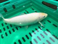 Large selection of koi available!