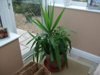 Large YUCCA TYPE PLANT. This has now outgrown my small room.