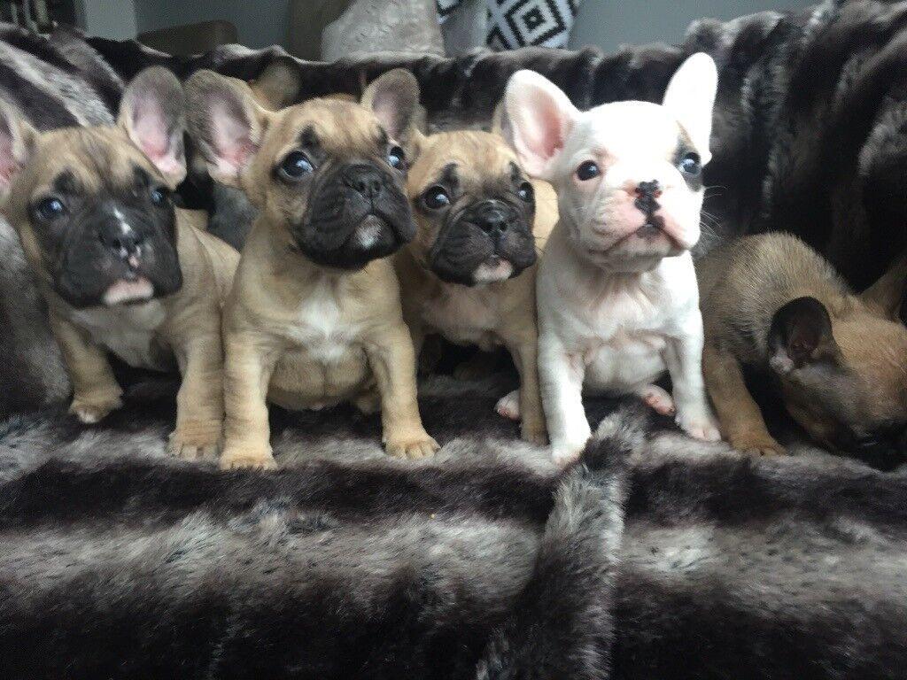French Bulldog Puppies In Romford London Gumtree