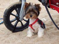 Yorkshire Terrier BIEWER puppy boy