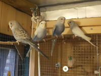 Baby Budgies for Sale £10.00 each