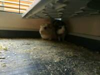 2 young male guinea pigs with cage and accessories
