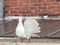 Garden Fantail Doves