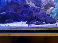 2 pleco for sale open to offer