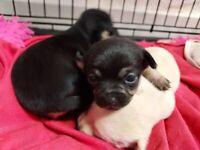 3 beautifil chihuahua puppies 🐶 😍