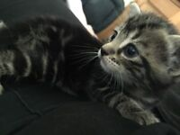 Two male kitten for sale black and grey tabby, ginger and white tabby