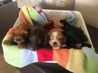 Cockerpoo f1 puppies