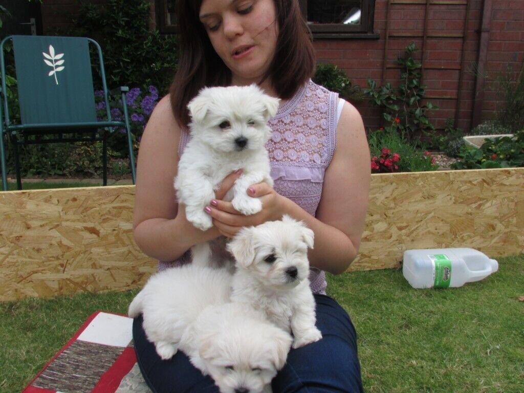 Maltese X Westie Puppies Highland Malties In Hornsea East
