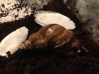 Giant African Land Snails FREE