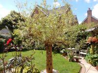 Plaited willow tree