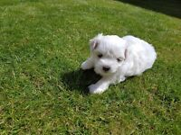 Quality Maltese Puppy Boy! Parents Kc Registered