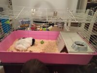 Guinea pig with cage