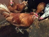 Roosters free to good home