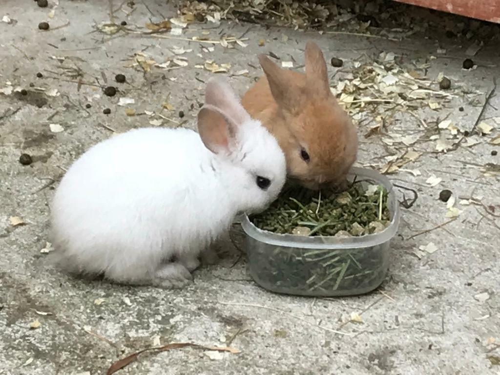 Baby rabbits for sale 2 fawn doe's & 1 fawn Buck ready to leave